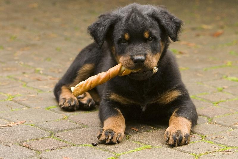 puppies and german rottweiler and german shepherd mixed puppies more German Shepherd Dog Reviews