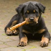 cute rottweiler puppy chewing on its treat.jpg