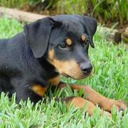 pretty dog picture of a rottweiler pup.jpg