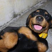 rottweiler puppy playing.jpg