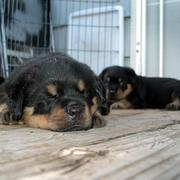 sleepy rottweiler pup picture.jpg