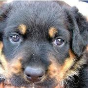close up picture of a young rotweiler puppy face.jpg