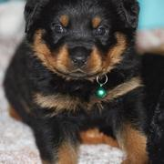 cute rottweiler puppy face photo.jpg
