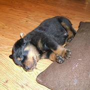female rottweiler puppy.jpg