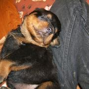 picture of a cute rottweiler puppy sleeping on its owner's lape.jpg