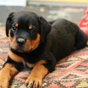 pretty rottweiler puppy photo.jpg