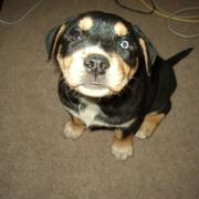 rottweiler puppy looking up to the camera.jpg