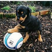 Rottweiler puppy playing with its big bald.jpg
