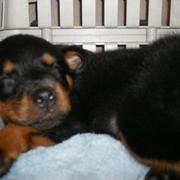 sleepy rottweiler puppy.jpg