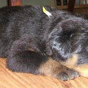very sleepy rottweil puppy picture.jpg