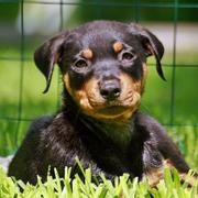 a small rottweiler mix puppy photo.jpg