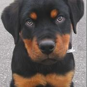 cut picture of a rottweiler pup.jpg