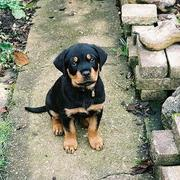 sweet looking rottweilers puppy looking up to the camera.jpg