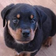 image of rottweiler dog puppy looking up to the  camera.jpg