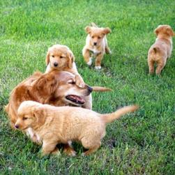 toller puppies with their mom.jpg