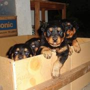 picture of rottweiler puppies in a big box.jpg