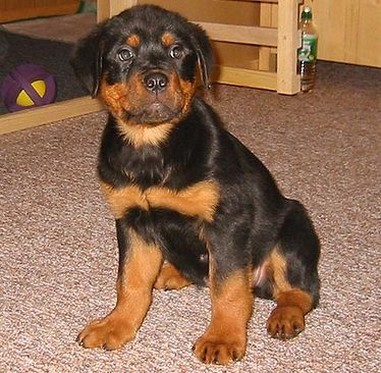 Pitbull Rottweiler Mix Puppies First rottweiler mix puppy