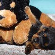 small rotterweiler pup playing with its big dog toy.jpg