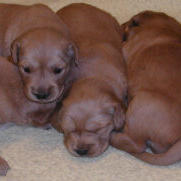 toller puppies.JPG