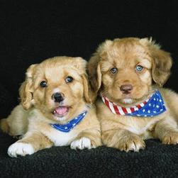 toller puppies_two.jpg