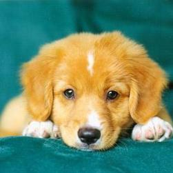 toller puppy face_cute.jpg