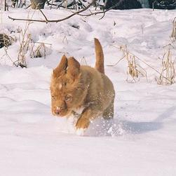 toller puppy runing in snow.jpg