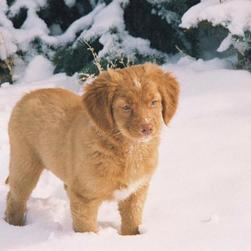 toller puppy standing on the snow.jpg