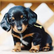 Black and tan Dachshund winnie puppy picture.JPG