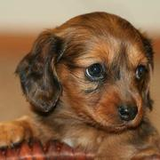 a beautiful mix Dachshund Puppy with long hair and two toned colors.JPG
