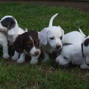 a big group of dachshunds puppies in white with dark spots picture.JPG