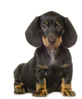 Black and tan beautiful dachshund puppy with very big ears looking straight to the camera.JPG