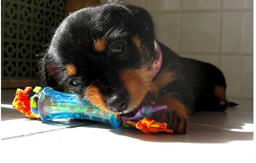 Black and tan Dachshund puppy with its colorful toy and looking at the camera.JPG