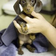 chocolate dachshund puppy picture.JPG