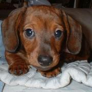 Cute Brown miniature dachshund puppy pictures.JPG