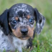 cute Dachshund puppy face picture.JPG