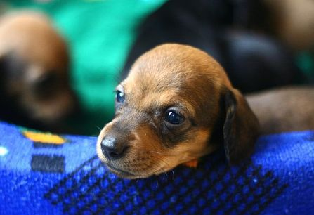 cute puppy face of a mini dachshund dog puppy.JPG