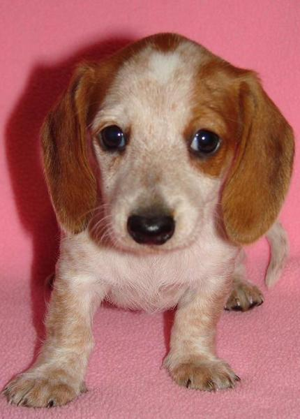 Cute White and tan dachshund puppy images.JPG