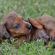 Dachshund in tan with dark dots with blue eyes puppy cleaning it self.JPG