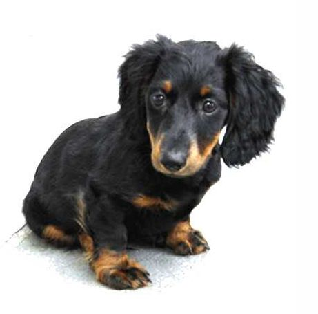 dachshund puppy breeders with long hair and big ears in black and spots of tan color.JPG