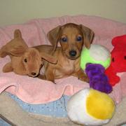 dachshund puppy with all its colorful toys photo.JPG