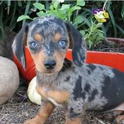 Dachshund puppy with very intersting pattern with big blue eyes looking straight to the camera.JPG