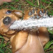 golden tan Dachshund Puppy bitting on fabric aggresively still looking so cute.JPG
