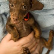 image of chocolate minature dachshund puppy looking up to the camera with its big eyes.JPG