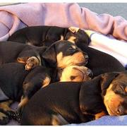 image of dachshund puppies breeders sleeping in deep sleep looking lovely.JPG