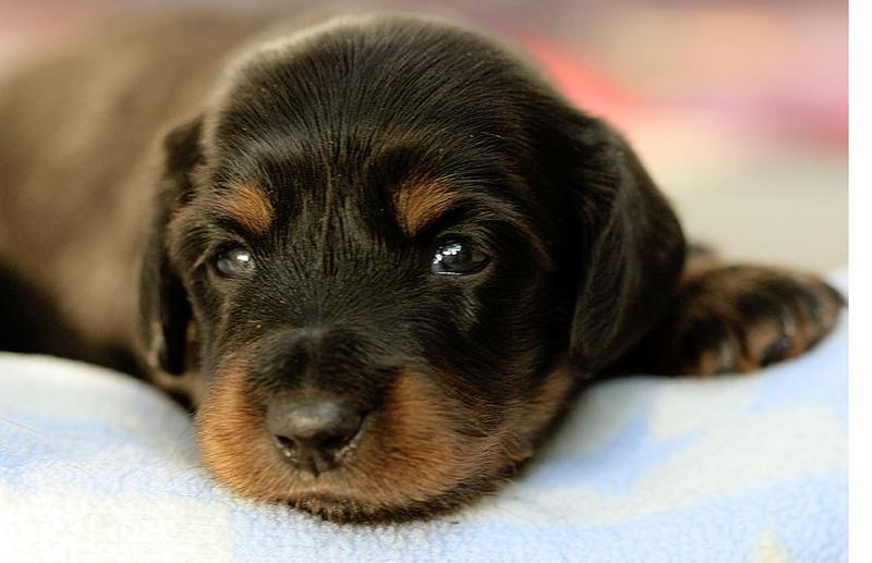 image of Dachshund puppy face in black and tan looking at the camera.JPG
