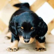 Image of Dachshund Puppy with long hair in black and tan looks so lovely.JPG