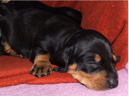 image of sleepy puppy dachshund dog in black and tan.JPG