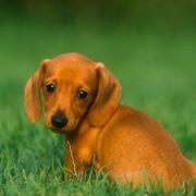 Image of Tan Dachshund puppy with very adorable looking.JPG