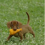Light brown Dachshund puppy playing with its chicken leg toy standing on the grass.JPG