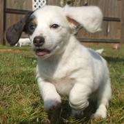 Long hair dachshund puppy in white and dark spots running on the grass and its earing flying in the air.JPG